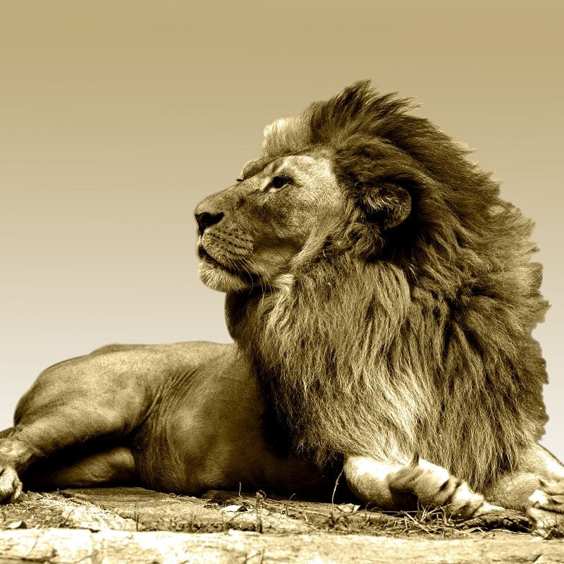 In order to live with flawless men's health, while having the strength, power and vitality of a lion king, you must understand that everything you place in your body affects your sexual health.